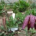 フリチラリア メレアグリス