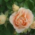 魅惑の薔薇アンティーク・レース